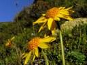 Arnica montana (Arn.)